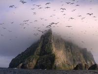 Gannets over Boreray at St. Kilda. Photo: finmorcottage.co.uk